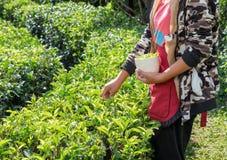 Foglia di tè di raccolto dell'agricoltore della tribù della ragazza Immagini Stock Libere da Diritti