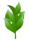 Foglia di tè su priorità bassa bianca Immagine Stock Libera da Diritti