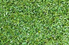 Foglia di tè verde fotografie stock libere da diritti
