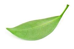 Foglia di tè verde Fotografia Stock Libera da Diritti