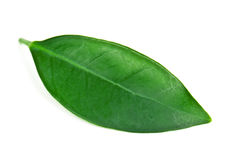 Foglia di tè verde e fertile Immagini Stock Libere da Diritti
