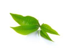 Foglia di tè verde fresca su priorità bassa bianca Immagine Stock