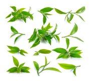 Foglia di tè verde fresca su priorità bassa bianca Fotografia Stock Libera da Diritti