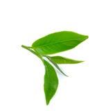 Foglia di tè verde fresca su priorità bassa bianca Fotografie Stock