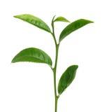 Foglia di tè verde isolata su fondo bianco Fotografia Stock