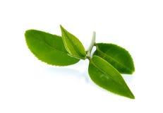 Foglia di tè verde isolata su fondo bianco Fotografie Stock Libere da Diritti