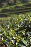Foglia di tè verde nel campo Fotografie Stock