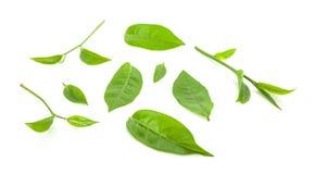 Foglia di tè verde su fondo bianco Fotografie Stock Libere da Diritti