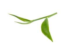 Foglia di tè verde su fondo bianco Fotografia Stock Libera da Diritti