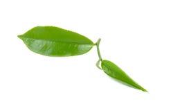 Foglia di tè verde su fondo bianco Immagini Stock