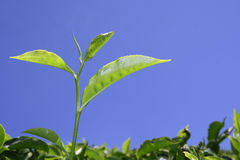 Foglia di tè alla piantagione in munnar Fotografie Stock