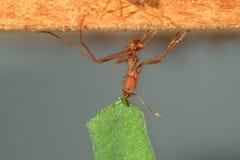 foglia di trasporto della formica della Foglia-taglierina immagine stock libera da diritti
