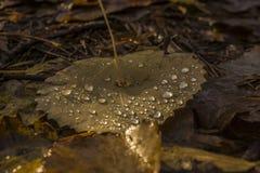 Foglia di un albero di betulla con le gocce di pioggia Fotografia Stock
