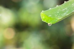 Foglia di vera dell'aloe con goccia su sfondo naturale Fotografia Stock Libera da Diritti