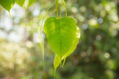 Foglia di verde di Buddha, foglia dell'albero di Bodhi Immagine Stock