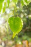 Foglia di verde di Buddha, foglia dell'albero di Bodhi Fotografie Stock Libere da Diritti