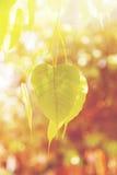 Foglia di verde di Buddha, foglia dell'albero di Bodhi Fotografia Stock