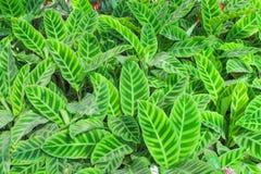 Foglia di verde di vista superiore, fondo ornamentale di struttura della pianta della zebra di zebrina di calathea in giardino fotografia stock