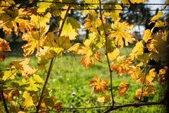 Foglia di vite backlighted gialla in vigna in autunno fotografia stock libera da diritti