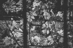 Foglia di vite Backlighted in vigna in autunno fotografia stock