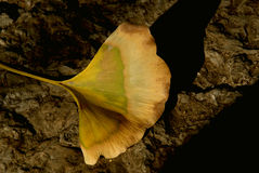 Foglia dorata del ginkgo Fotografia Stock Libera da Diritti