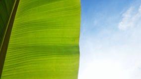 Foglia e cielo blu della banana immagine stock libera da diritti