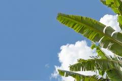 Foglia e cielo della banana Immagine Stock