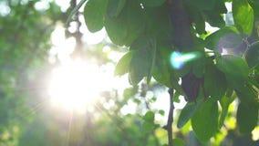 Foglia e clip del metraggio della natura dell'insieme del sole di moto e del bokeh dell'albero archivi video