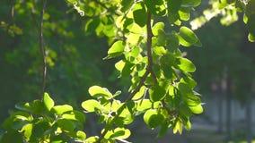 Foglia e clip del metraggio della natura dell'insieme del sole di moto e del bokeh dell'albero stock footage
