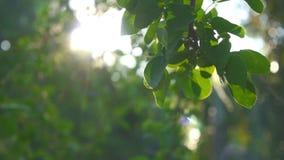 Foglia e clip del metraggio della natura dell'insieme del sole di moto e del bokeh dell'albero video d archivio