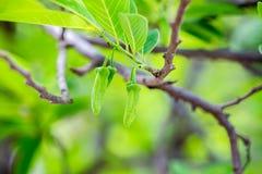 Foglia e fiore delle mele cannella Fotografia Stock Libera da Diritti