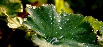 Foglia e gocce di pioggia Fotografia Stock
