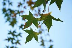 Foglia e ramo verdi nella caduta Fotografia Stock