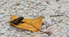 Foglia e rana di autunno di colore fotografia stock