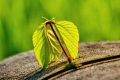 Foglia e vite verdi fresche sul fondo della sfuocatura Fotografia Stock