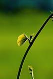 Foglia e vite verdi fresche sul fondo della sfuocatura Immagini Stock