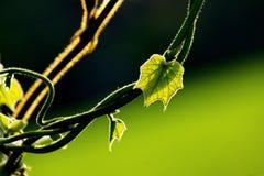 Foglia e vite verdi fresche sul fondo della sfuocatura Fotografie Stock