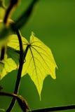 Foglia e vite verdi fresche sul fondo della sfuocatura Immagini Stock Libere da Diritti