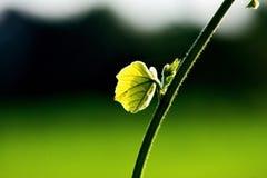 Foglia e vite verdi fresche sul fondo della sfuocatura Fotografia Stock Libera da Diritti