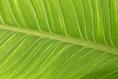 Foglia esotica dettagliatamente, foglia verde fotografie stock libere da diritti