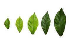 Foglia, foglie, illustrazione, isolato, verde fotografia stock libera da diritti
