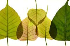 Foglia a forma di del cuore nuova dell'albero peepal Fotografia Stock