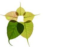 Foglia a forma di del cuore nuova dell'albero peepal Fotografie Stock Libere da Diritti
