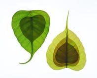 Foglia a forma di del cuore nuova dell'albero peepal Fotografie Stock
