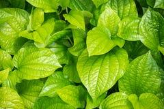 Foglia fresca del betel Immagine Stock
