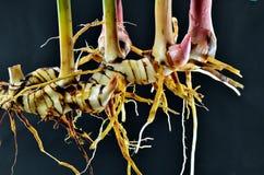 Foglia fresca di galanga della giovane radice di galanga su fondo nero Immagini Stock