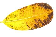 Foglia gialla Immagine Stock Libera da Diritti