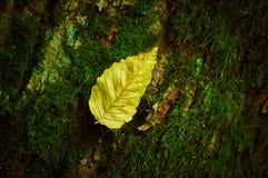 Foglia gialla che si trova su un albero coperto di muschio Fotografie Stock