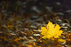 Foglia gialla del hightlit Fotografie Stock Libere da Diritti