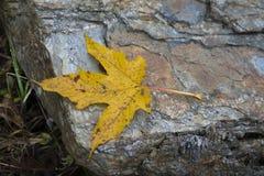 Foglia gialla dell'acero caduta sulla pietra immagine stock libera da diritti